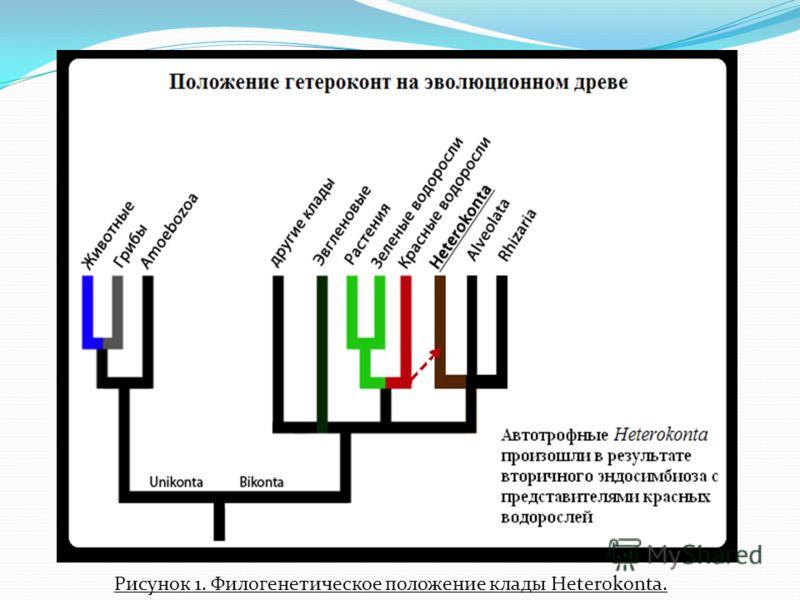 Рисунок 1. Филогенетическое положение клады Heterokonta.