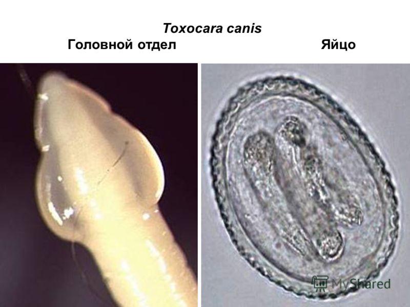 Toxocara canis Головной отдел Яйцо