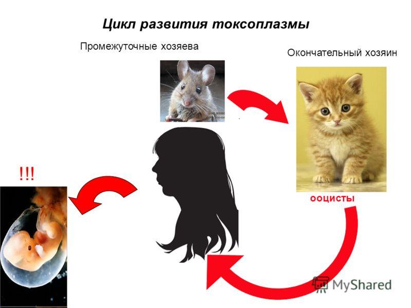 Цикл развития токсоплазмы Окончательный хозяин Промежуточные хозяева ооцисты !!!