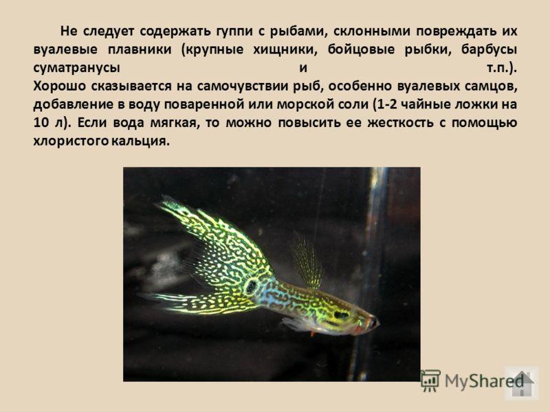 Не следует содержать гуппи с рыбами, склонными повреждать их вуалевые плавники (крупные хищники, бойцовые рыбки, барбусы суматранусы и т.п.). Хорошо сказывается на самочувствии рыб, особенно вуалевых самцов, добавление в воду поваренной или морской с