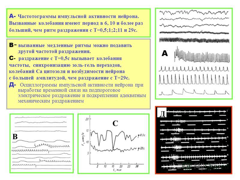 А- Частотограммы импульсной активности нейрона. Вызванные колебания имеют период в 6, 10 и более раз больший, чем ритм раздражения с Т=0,5;1;2;11 и 29с. В - вызванные медленные ритмы можно подавить другой частотой раздражения. С - раздражение с Т=0,5