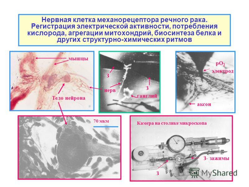 Нервная клетка механорецептора речного рака. Регистрация электрической активности, потребления кислорода, агрегации митохондрий, биосинтеза белка и других структурно-химических ритмов 70 мкм Камера на столике микроскопа З- зажимы З З З рО 2 электрод
