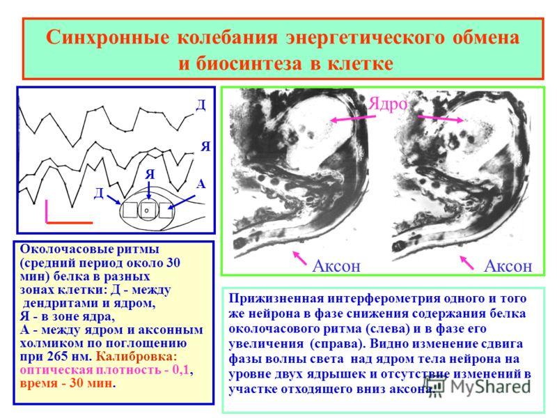 Синхронные колебания энергетического обмена и биосинтеза в клетке Околочасовые ритмы (средний период около 30 мин) белка в разных зонах клетки: Д - между дендритами и ядром, Я - в зоне ядра, А - между ядром и аксонным холмиком по поглощению при 265 н