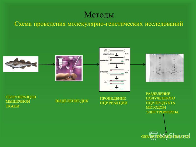 Методы Схема проведения молекулярно-генетических исследований СБОР ОБРАЗЦОВ МЫШЕЧНОЙ ТКАНИ ВЫДЕЛЕНИЕ ДНК ПРОВЕДЕНИЕ ПЦР РЕАКЦИИ РАЗДЕЛЕНИЕ ПОЛУЧЕННОГО ПЦР ПРОДУКТА МЕТОДОМ ЭЛЕКТРОФОРЕЗА ОБРАБОТКА РЕЗУЛЬТАТОВ