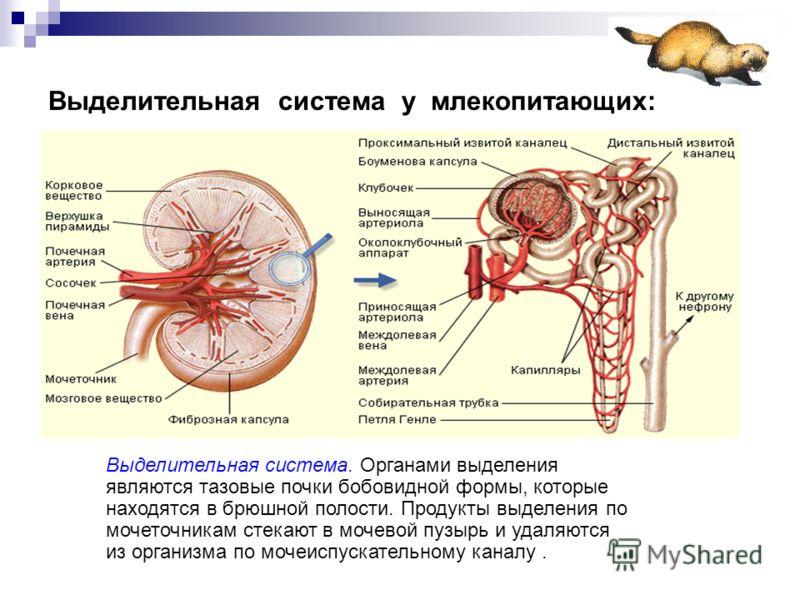 Выделительная система у млекопитающих: Выделительная система. Органами выделения являются тазовые почки бобовидной формы, которые находятся в брюшной полости. Продукты выделения по мочеточникам стекают в мочевой пузырь и удаляются из организма по моч