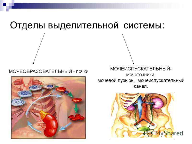 Отделы выделительной системы: МОЧЕОБРАЗОВАТЕЛЬНЫЙ - почки МОЧЕИСПУСКАТЕЛЬНЫЙ- мочеточники, мочевой пузырь, мочеиспускательный канал.