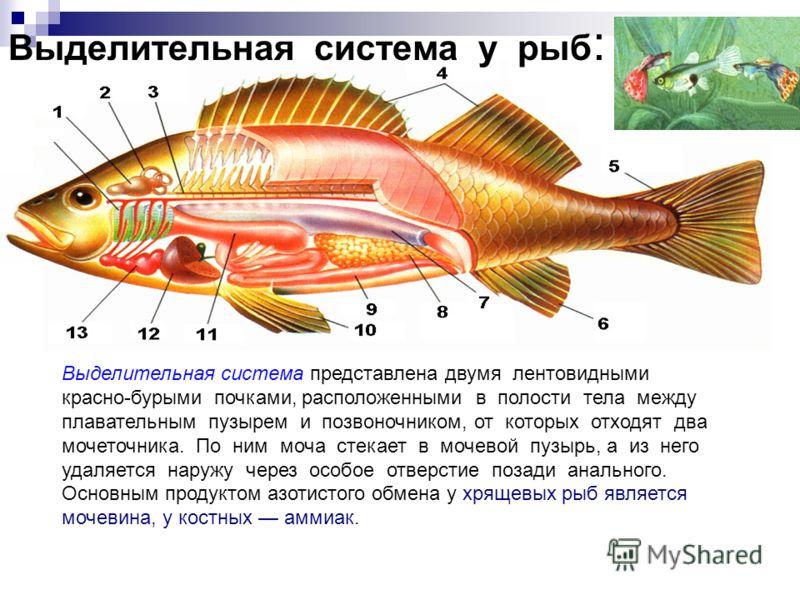 Выделительная система у рыб : Выделительная система представлена двумя лентовидными красно-бурыми почками, расположенными в полости тела между плавательным пузырем и позвоночником, от которых отходят два мочеточника. По ним моча стекает в мочевой пуз