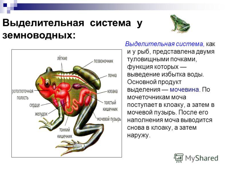 Выделительная система у земноводных: Выделительная система, как и у рыб, представлена двумя туловищными почками, функция которых выведение избытка воды. Основной продукт выделения мочевина. По мочеточникам моча поступает в клоаку, а затем в мочевой п