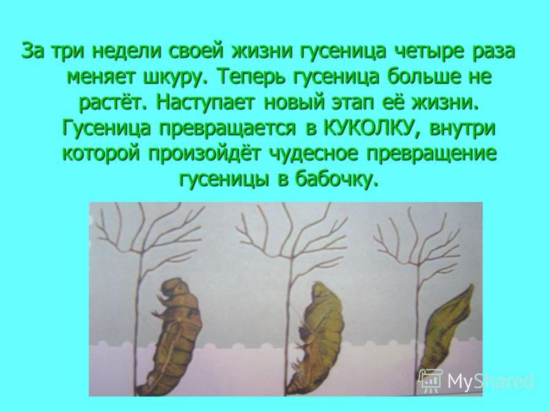 За три недели своей жизни гусеница четыре раза меняет шкуру. Теперь гусеница больше не растёт. Наступает новый этап её жизни. Гусеница превращается в КУКОЛКУ, внутри которой произойдёт чудесное превращение гусеницы в бабочку.