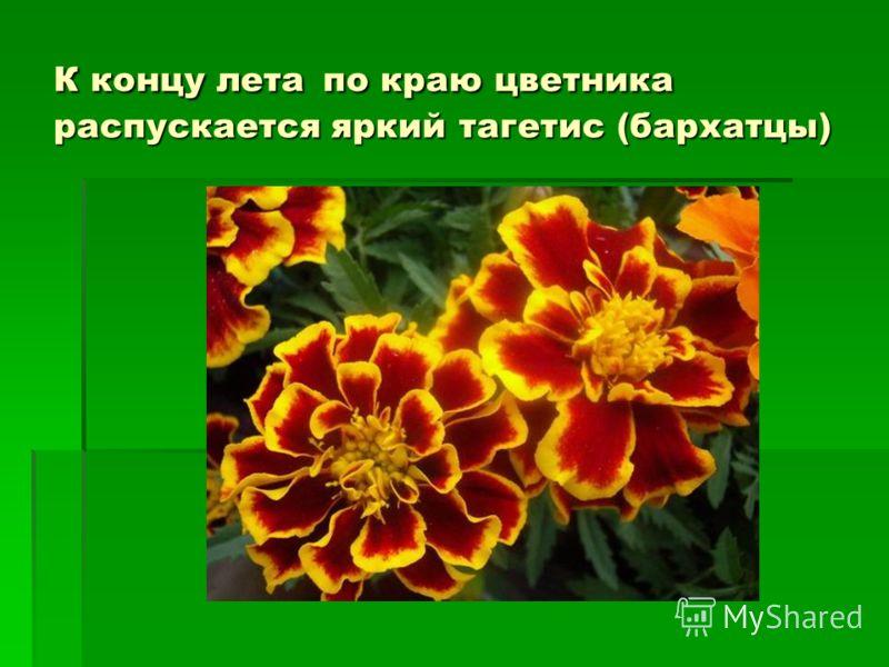 К концу лета по краю цветника распускается яркий тагетис (бархатцы)