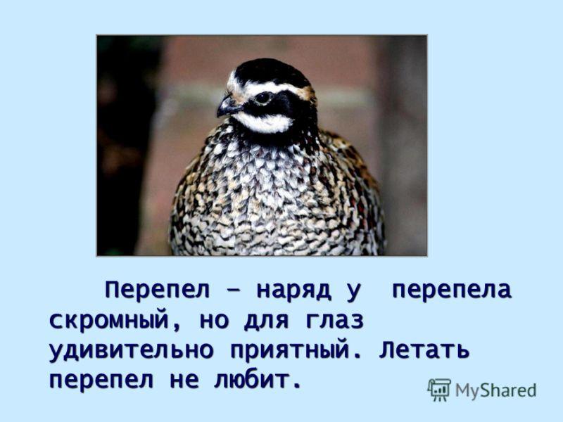 Перепел – наряд у перепела скромный, но для глаз удивительно приятный. Летать перепел не любит.