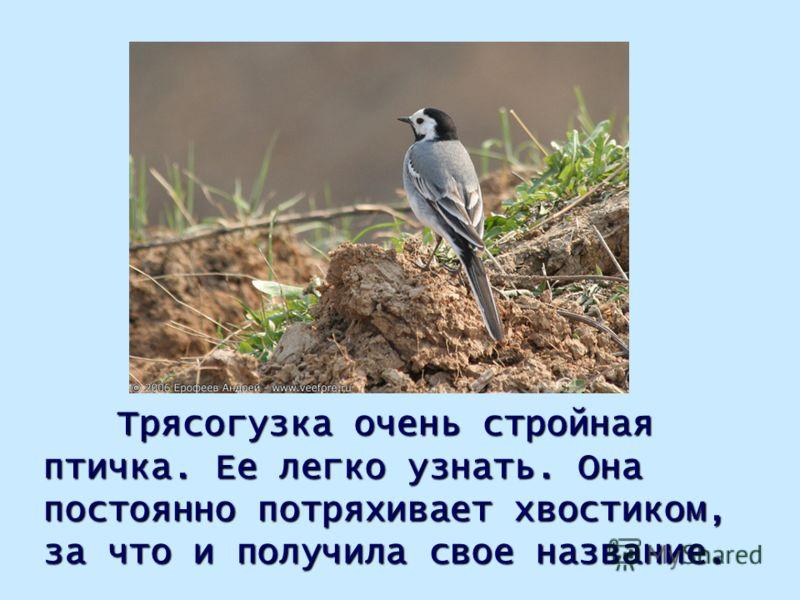Трясогузка очень стройная птичка. Ее легко узнать. Она постоянно потряхивает хвостиком, за что и получила свое название.
