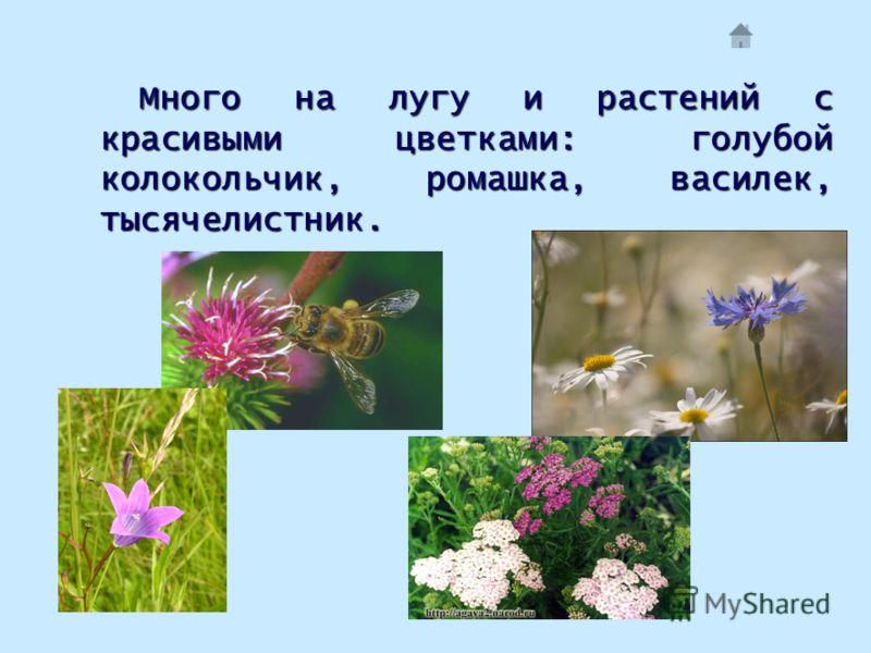 Много на лугу и растений с красивыми цветками: голубой колокольчик, ромашка, василек, тысячелистник.