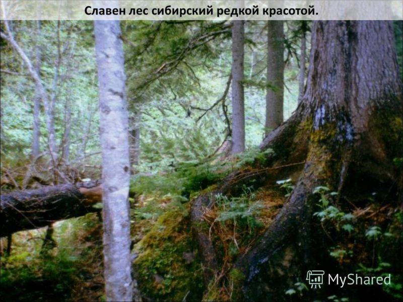 Славен лес сибирский редкой красотой.