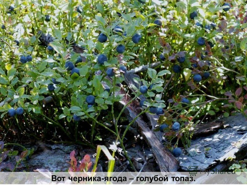 Вот черника-ягода – голубой топаз.