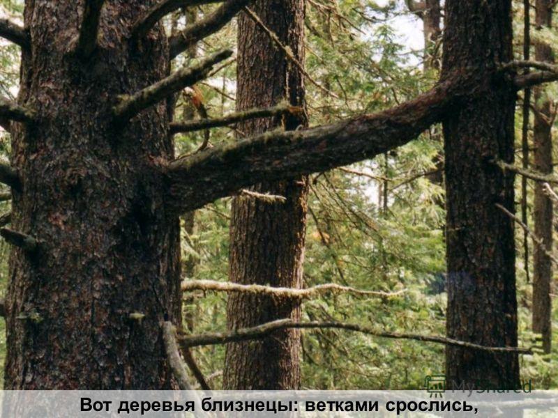Вот деревья близнецы: ветками срослись,