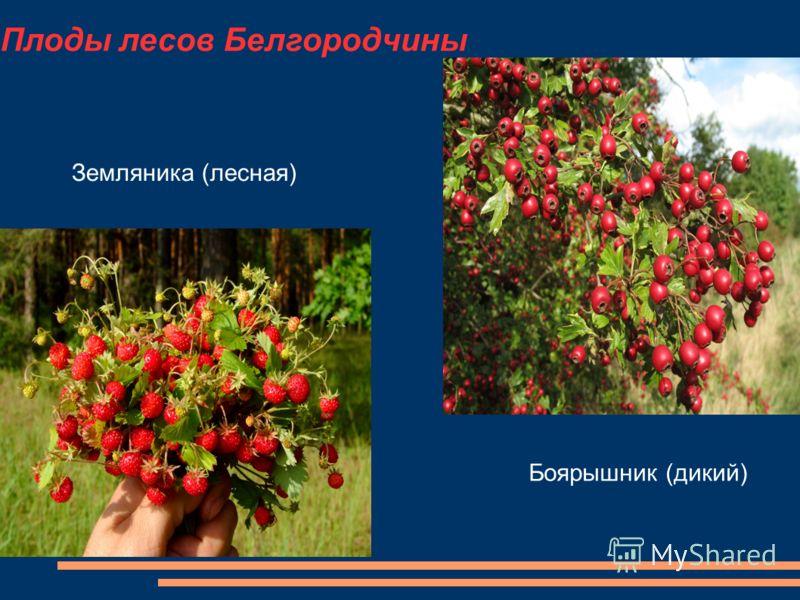 Плоды лесов Белгородчины Земляника (лесная) Боярышник (дикий)
