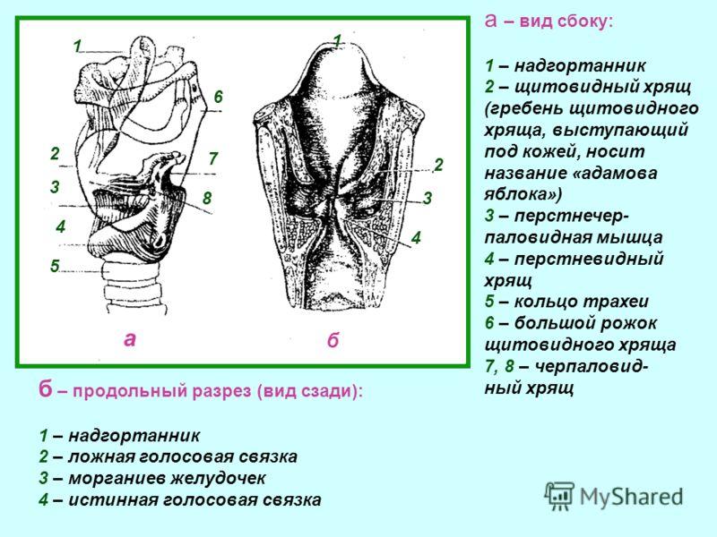Внутренняя полость гортани выстлана слизистой оболочкой. В середине гортани находится так называемая голосовая щель. Она образуется двумя парал- лельными парами мышц, которые прикреплены одним своим концом к щитовидному, а другим - к черпаловидным хр