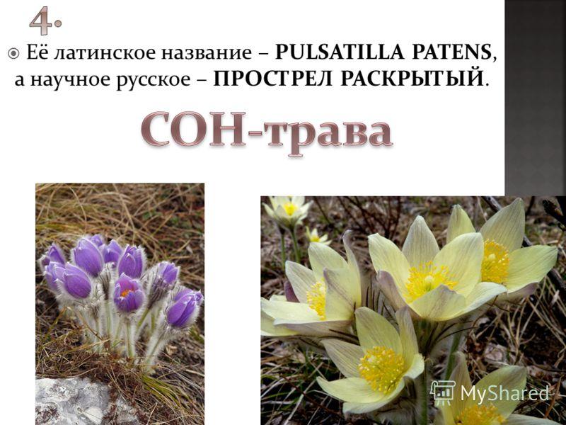 Её латинское название – PULSATILLA PATENS, а научное русское – ПРОСТРЕЛ РАСКРЫТЫЙ.