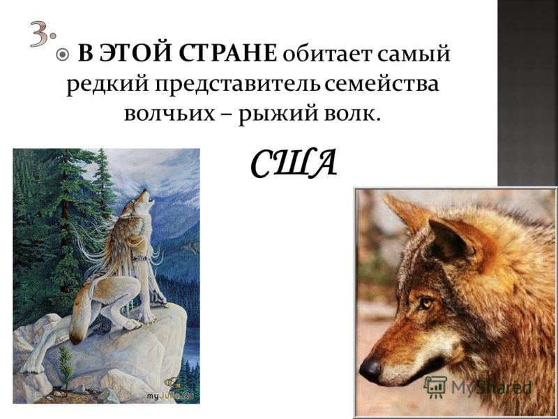 В ЭТОЙ СТРАНЕ обитает самый редкий представитель семейства волчьих – рыжий волк.
