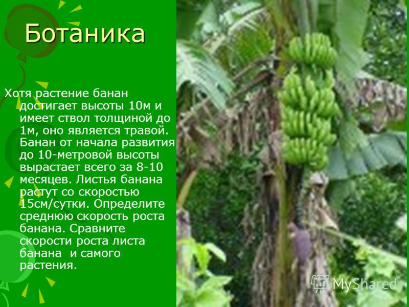 Ботаника Хотя растение банан достигает высоты 10м и имеет ствол толщиной до 1м, оно является травой. Банан от начала развития до 10-метровой высоты вырастает всего за 8-10 месяцев. Листья банана растут со скоростью 15см/сутки. Определите среднюю скор