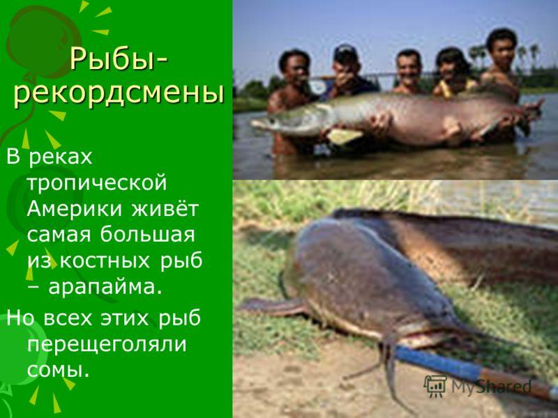 Рыбы- рекордсмены В реках тропической Америки живёт самая большая из костных рыб – арапайма. Но всех этих рыб перещеголяли сомы.