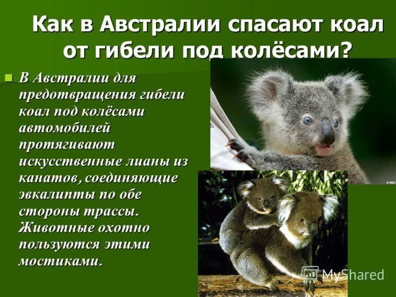 Как в Австралии спасают коал от гибели под колёсами? В Австралии для предотвращения гибели коал под колёсами автомобилей протягивают искусственные лианы из канатов, соединяющие эвкалипты по обе стороны трассы. Животные охотно пользуются этими мостика