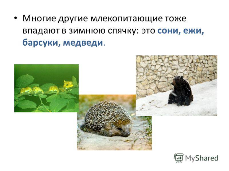 Многие другие млекопитающие тоже впадают в зимнюю спячку: это сони, ежи, барсуки, медведи.