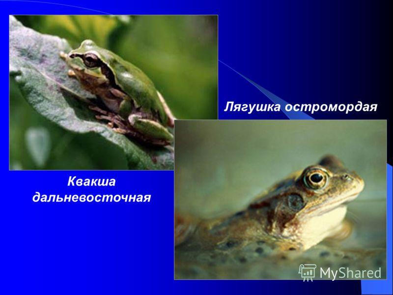 Квакша дальневосточная Лягушка остромордая