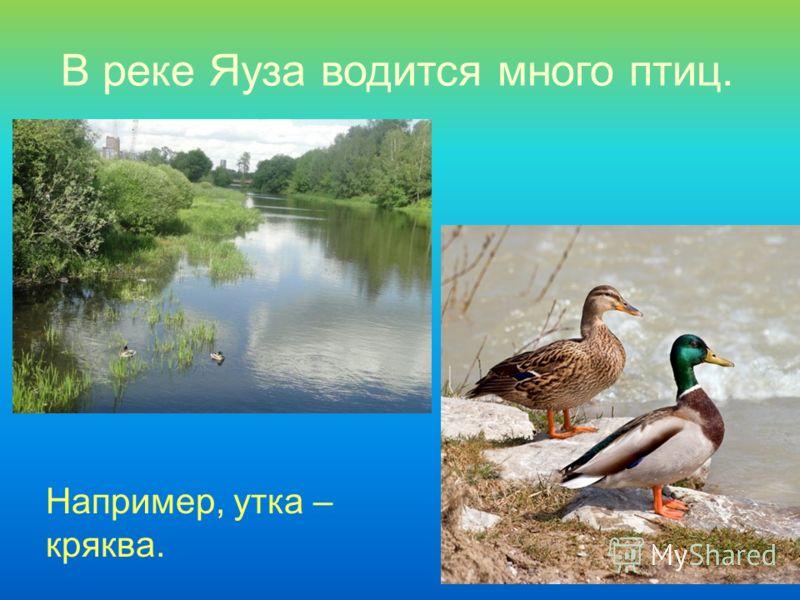 В реке Яуза водится много птиц. Например, утка – кряква.