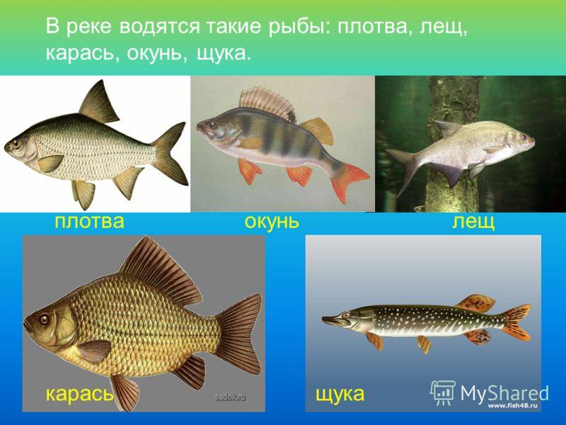 В реке водятся такие рыбы: плотва, лещ, карась, окунь, щука. плотваокуньлещ карасьщука