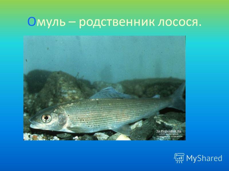Омуль – родственник лосося.