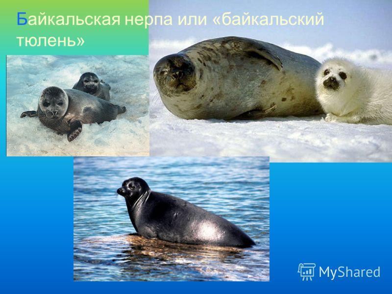 Байкальская нерпа или «байкальский тюлень»