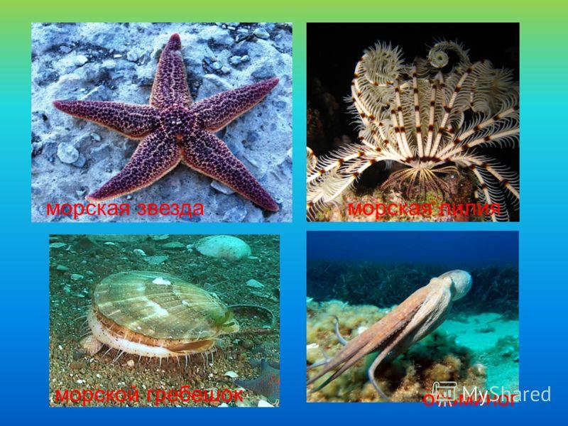 морская звезда морской гребешок морская лилия осьминог