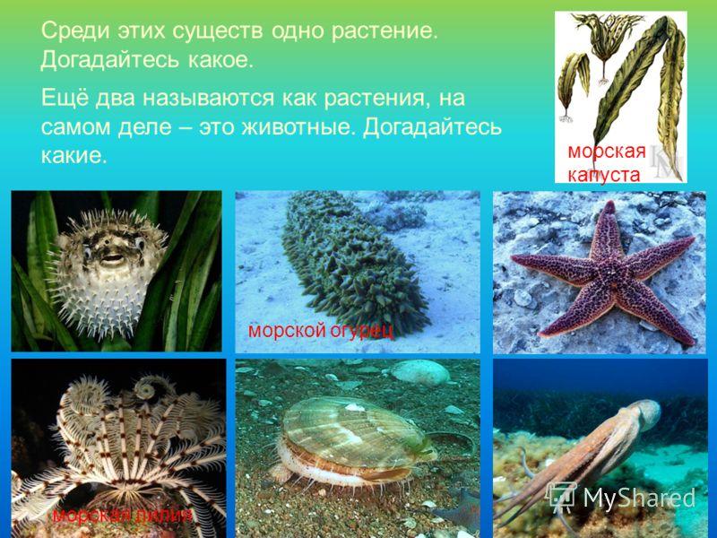 Среди этих существ одно растение. Догадайтесь какое. морская капуста морской огурец морская лилия Ещё два называются как растения, на самом деле – это животные. Догадайтесь какие.