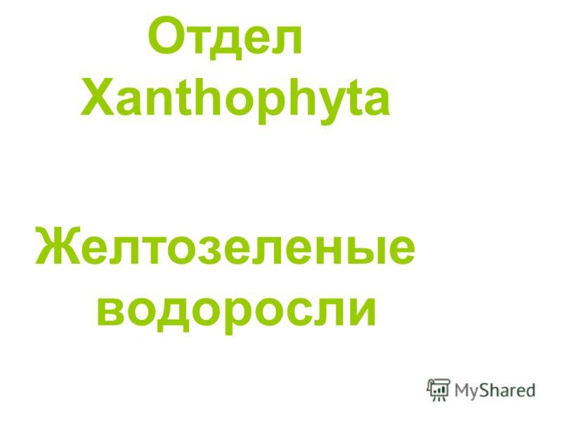 Отдел Хanthophyta Желтозеленые водоросли