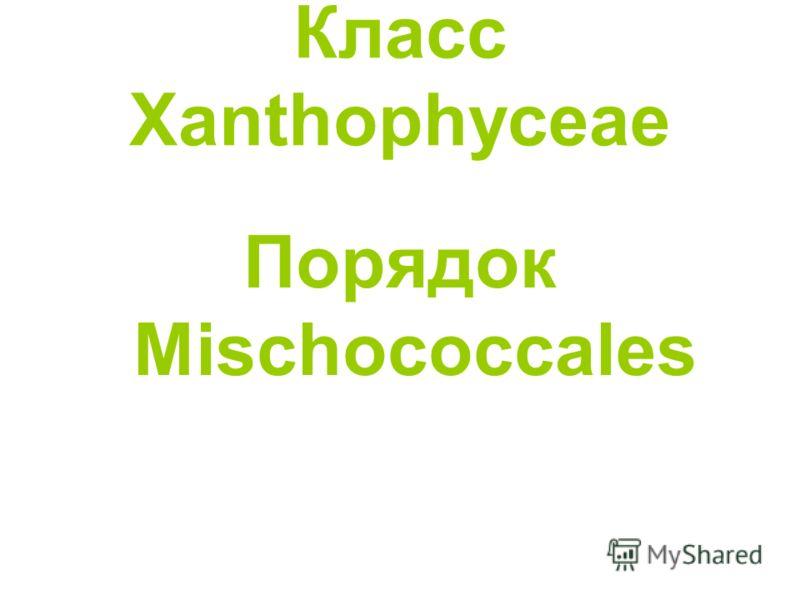 Класс Xanthophyceae Порядок Mischococcales