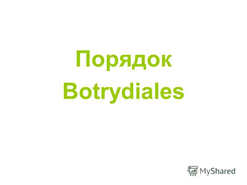 Порядок Botrydiales