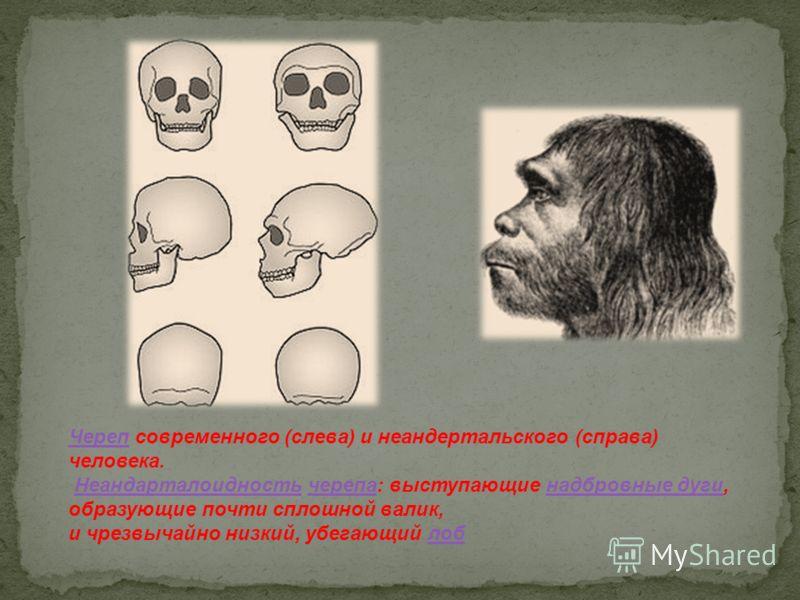 ЧерепЧереп современного (слева) и неандертальского (справа) человека. Неандарталоидность черепа: выступающие надбровные дуги, образующие почти сплошной валик,Неандарталоидностьчерепанадбровные дуги и чрезвычайно низкий, убегающий лоблоб