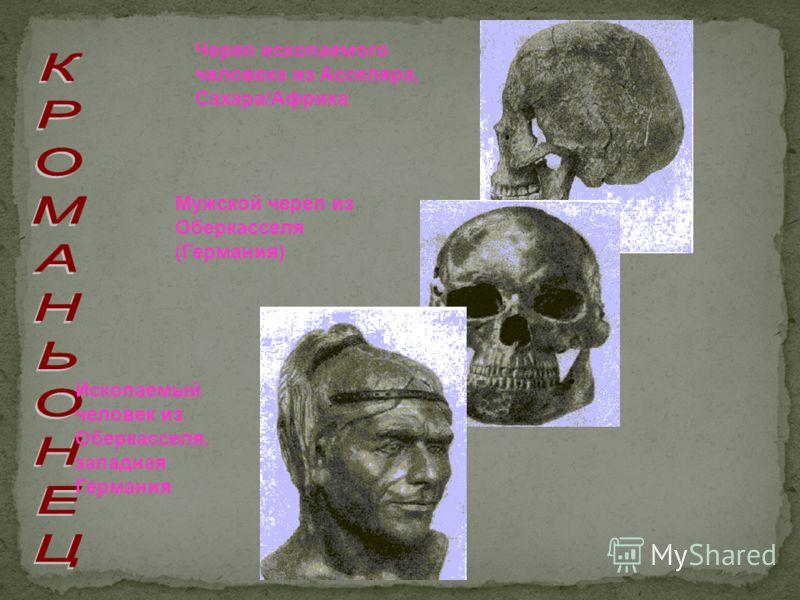 Ископаемый человек из Оберкасселя, западная Германия Череп ископаемого человека из Асселяра, Сахара/Африка Мужской череп из Оберкасселя (Германия)