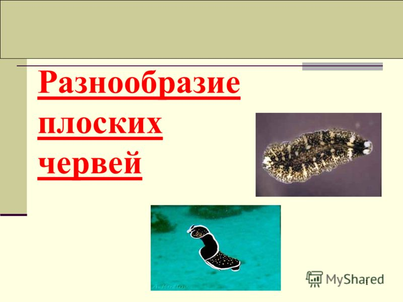 1 Разнообразие плоских червей