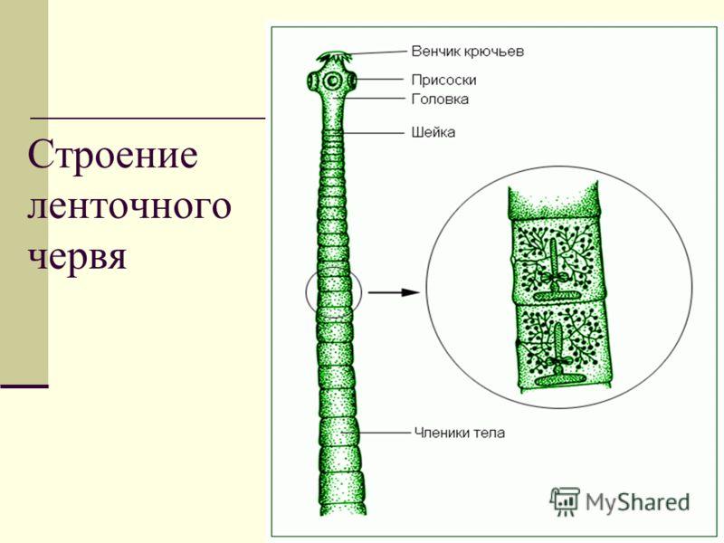 8 Строение ленточного червя