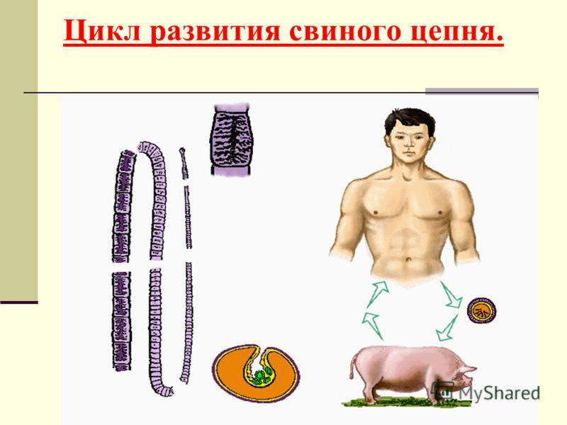 9 Цикл развития свиного цепня.