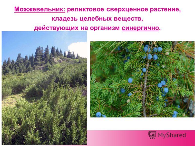 Можжевельник: реликтовое сверхценное растение, кладезь целебных веществ, действующих на организм синергично.