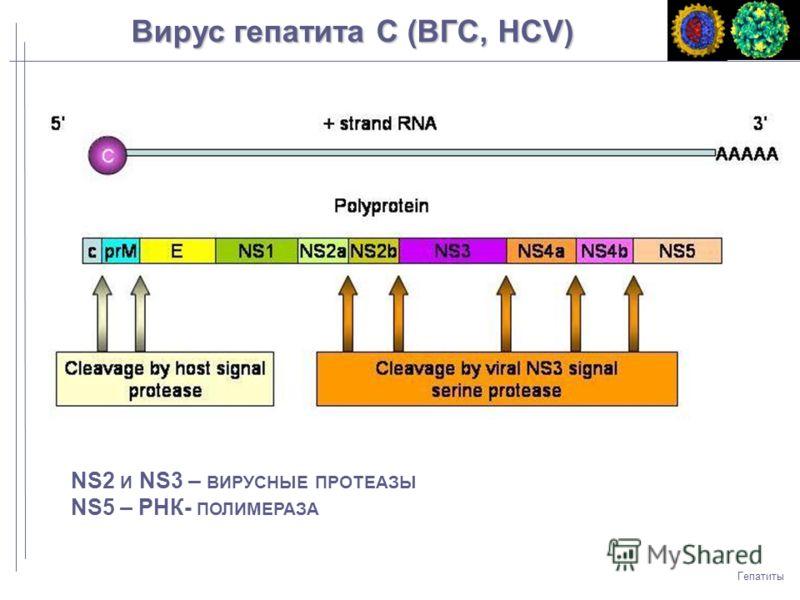 NS2 И NS3 – ВИРУСНЫЕ ПРОТЕАЗЫ NS5 – РНК- ПОЛИМЕРАЗА Гепатиты Вирус гепатита C (ВГC, HCV)