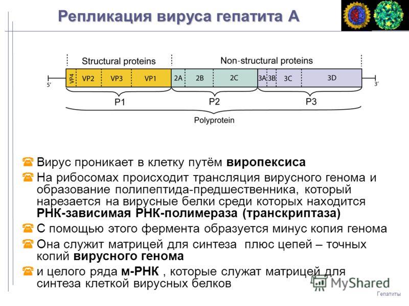 Вирус проникает в клетку путём виропексиса На рибосомах происходит трансляция вирусного генома и образование полипептида-предшественника, который нарезается на вирусные белки среди которых находится РНК-зависимая РНК-полимераза (транскриптаза) С помо