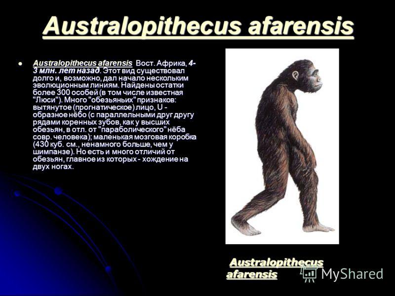 Australopithecus afarensis Australopithecus afarensis Australopithecus afarensis Вост. Африка, 4- 3 млн. лет назад. Этот вид существовал долго и, возможно, дал начало нескольким эволюционным линиям. Найдены остатки более 300 особей (в том числе извес