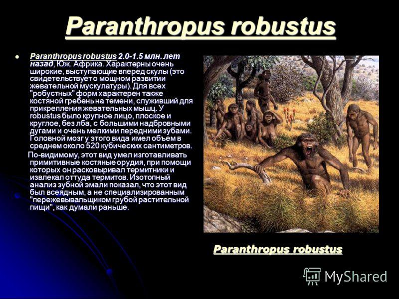 Paranthropus robustus Paranthropus robustus Paranthropus robustus 2.0-1.5 млн. лет назад, Юж. Африка. Характерны очень широкие, выступающие вперед скулы (это свидетельствует о мощном развитии жевательной мускулатуры). Для всех