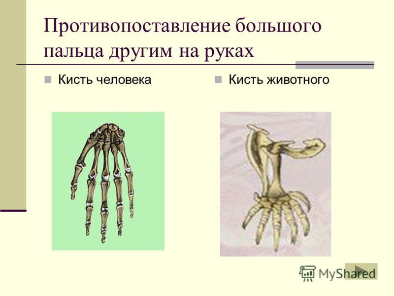 Противопоставление большого пальца другим на руках Кисть человека Кисть животного