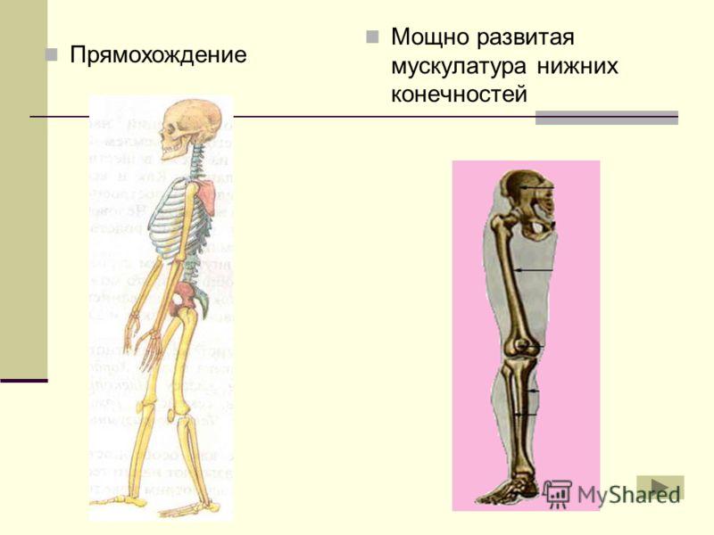 Прямохождение Мощно развитая мускулатура нижних конечностей